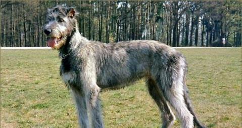爱尔兰猎狼犬厉害吗?爱尔兰猎狼犬介绍-狗狗品种